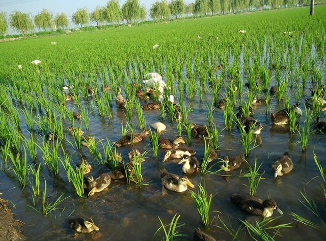 【稻田鸭在田间工作,除草除虫】图片