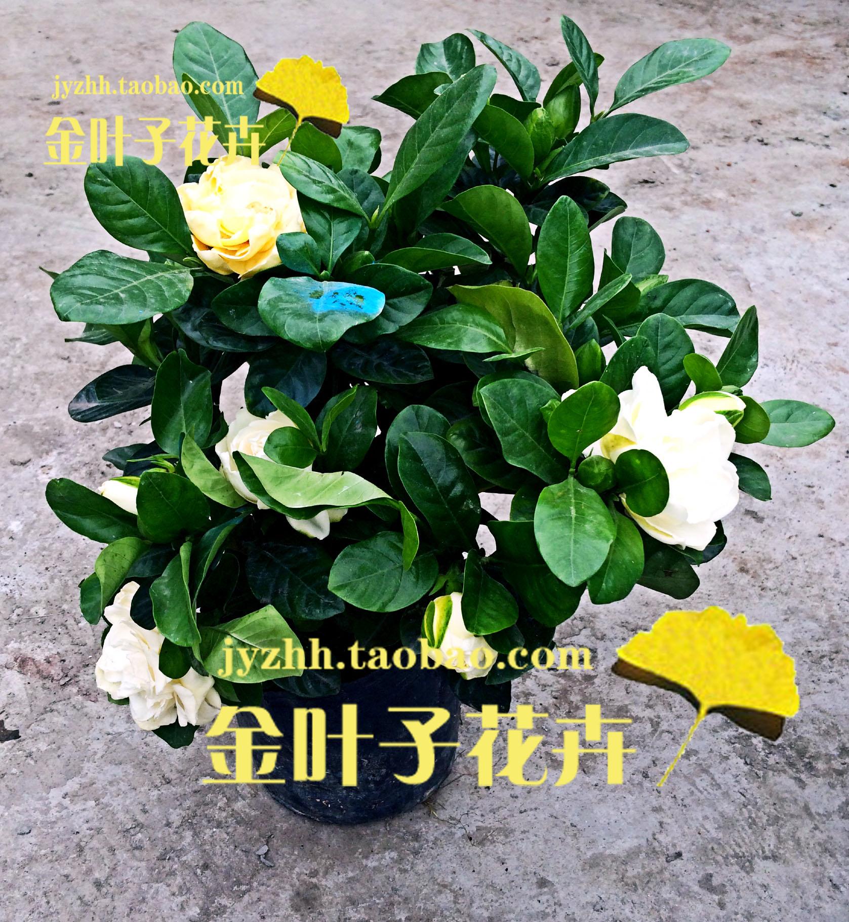 【香草植物】栀子花 花卉盆栽/芳香植物 总高45厘米