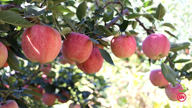 青龙满族自治县品名:红元帅青龙苹果是河北省秦皇岛市青龙县的特产.